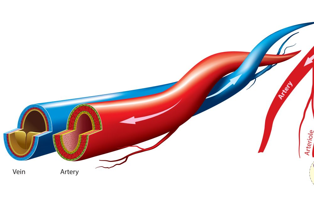 The Difference Between Veins and Arteries - Northern ...
